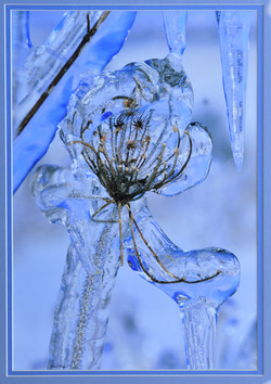 Queen Anne's Lace in Ice