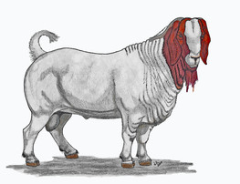 Boer Buck