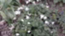 witte anemoon.jpg