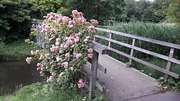 rozen 1.jpg