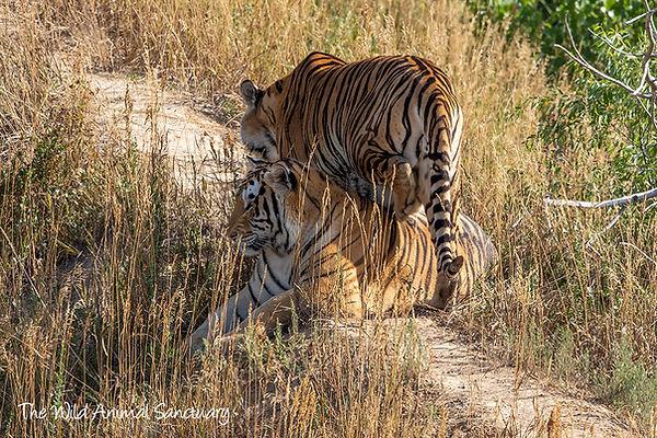 Tigers 2.jfif
