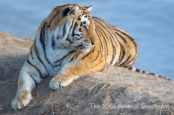 Tiger 3.jfif