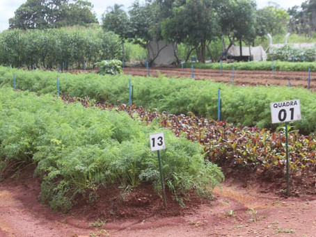 S. Canedo [Agricultura] Produção da Horta Comunitária é responsável pela melhoria da merenda escolar