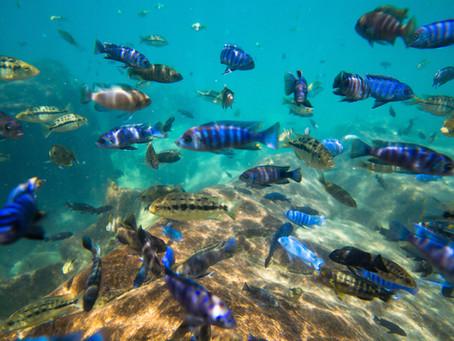 Erros na escolha de parceiro pode levar ao surgimento de novas espécies de peixes.