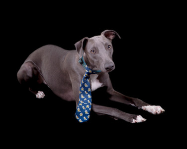 Blue the Whippet 1