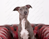 Blue the Whippet 12