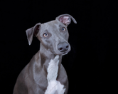 Blue the Whippet 8