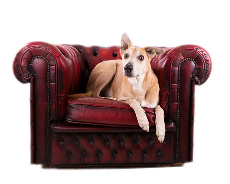 ALurcher dog sitting on a Chesterfield armchair