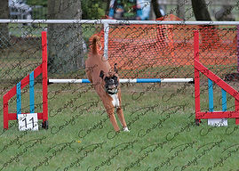 Photograph of a Boxer dog, jumping a fence in an agility competition