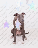 Blue the Whippet 11