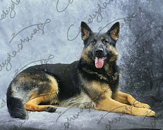 Photograph of a German Shepheard dog laying down looking at the camera , with snow effect.