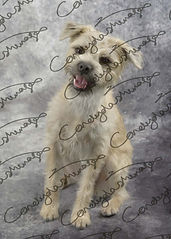 Light coloured small breed dog pictured in the studio