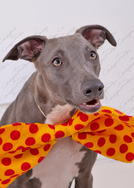 Blue the Whippet 14
