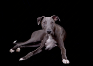 Blue the Whippet 6