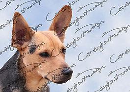 Photograph of a small dog, taken at Boxford Fun Dog show 2019