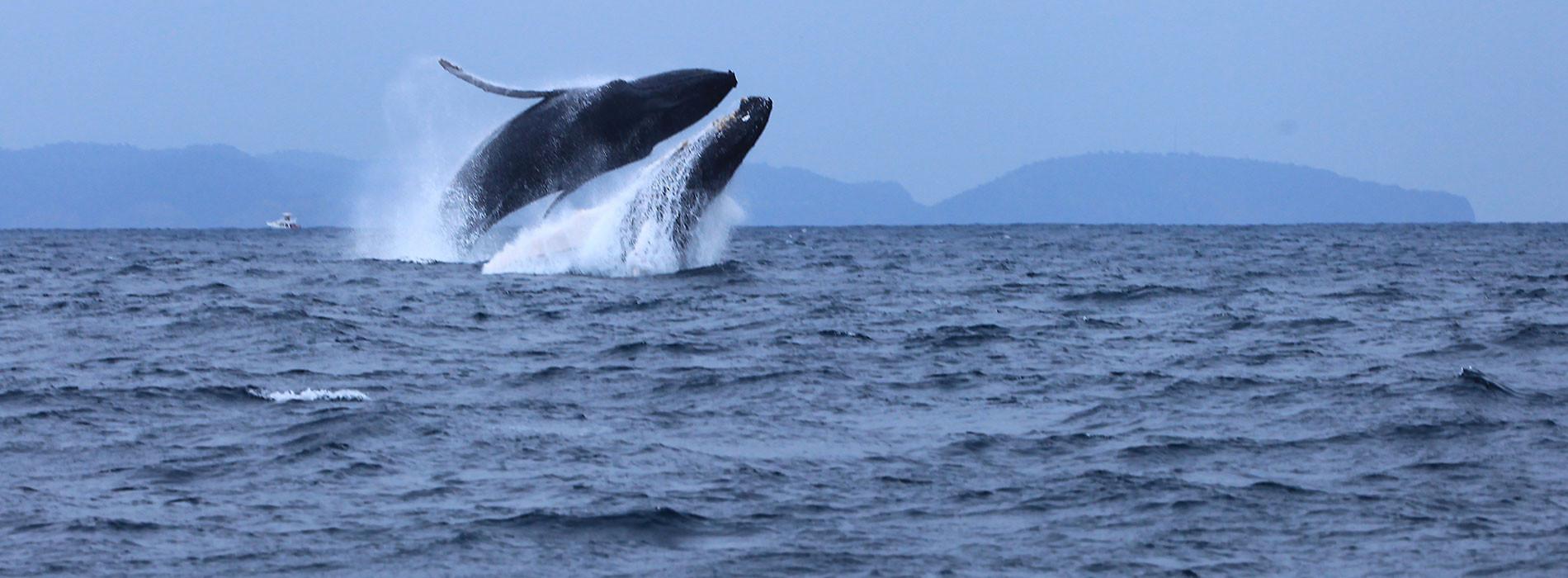 Observacion ballenas jorobadas