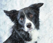 Head shot photograph of a Collie Dog with a snow effect added