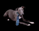 Blue the Whippet 17