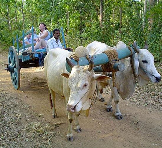 Bullock cart.jpg