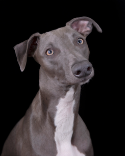 Blue the Whippet