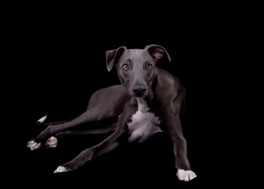 Blue the Whippet 2