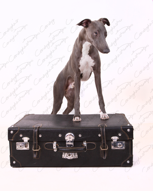 Blue the Whippet 16