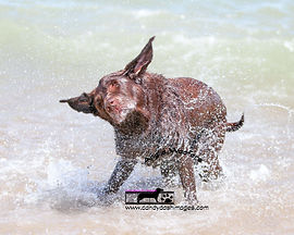 Image of a brown labradoor in the sea at Felixstowe UK, she is skaking  and water is pictured spraying off everywhere.
