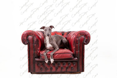 Blue the Whippet 15