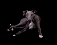 Blue the Whippet 7