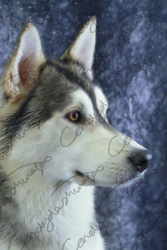 A Husky dog pictured in the studio with snow falling