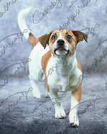 A tan and white Jack russel terrier