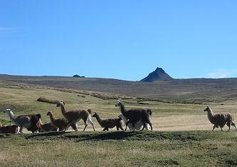 wild llama.JPG