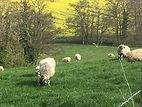 Lambing Season2.JPG