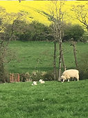 Lambing Season.JPG