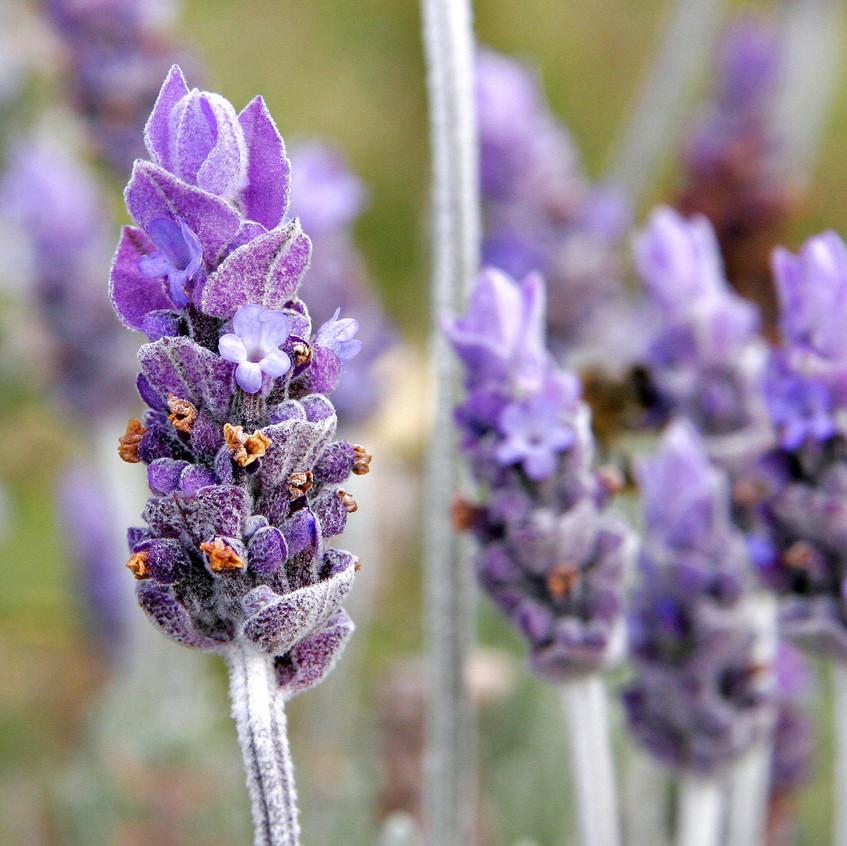 The Magic of Lavender