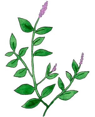drawing-pesto-basil.tif