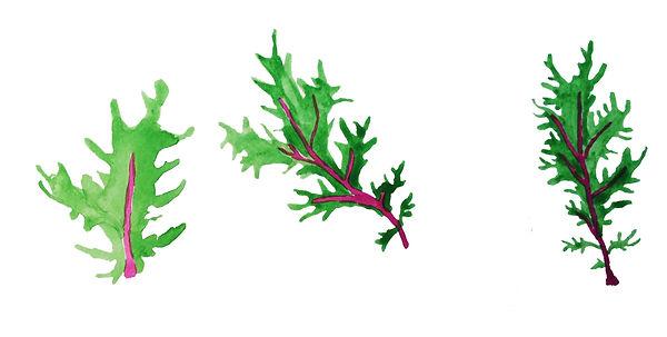 drawing-obercreek-salad-red-rain-kale_ed