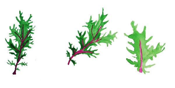 drawing-obercreek-salad-red-rain-kale.jpg