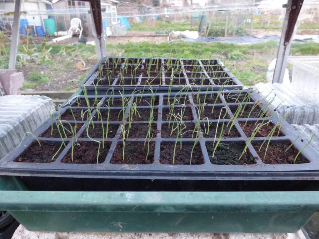Onions from seed