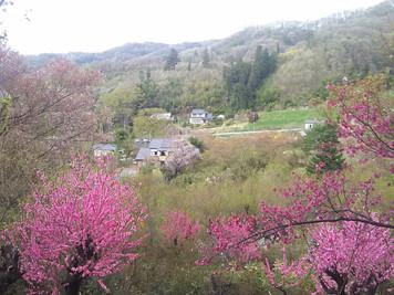念願の花見山、三春の滝桜