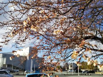 狂い咲きの桜に雪
