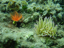 sea anemones in the mediterranean