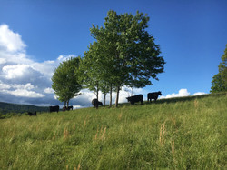 Cows Next to Trees