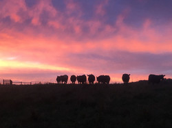 Cows on Hill with Sunset