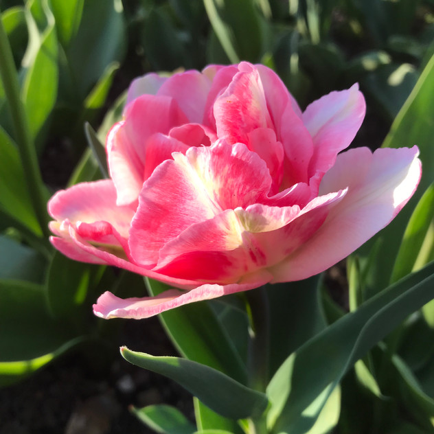 Tulip - English Petal & Herb