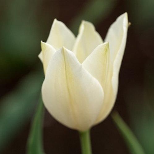 Potted Alba Regalis Tulip Bulb