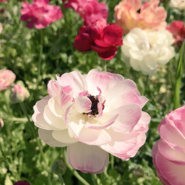 Ranunculus - English Petal & Herb