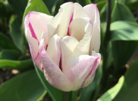 The Tulip Bulbs Have Arrived!