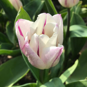 These Are Our Tulips Today >> The Tulip Bulbs Have Arrived