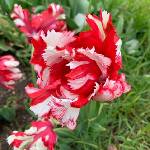 tulip19a.JPG